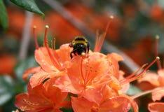 El Bombus poliniza la azalea anaranjada Fotos de archivo libres de regalías
