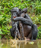 El Bonobo adulto bebe el agua Fotografía de archivo