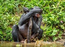 El Bonobo adulto bebe el agua Imagen de archivo libre de regalías