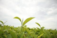 El borde del té Imágenes de archivo libres de regalías