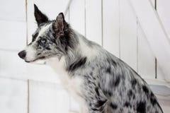 El border collie azul del merle se está sentando cerca de la puerta de madera Fotos de archivo