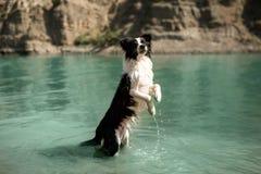 El border collie blanco y negro del perro se coloca en sus piernas traseras en el lago imágenes de archivo libres de regalías