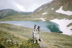 El border collie criado en línea pura se sienta contra un paisaje hermoso hermoso imagenes de archivo
