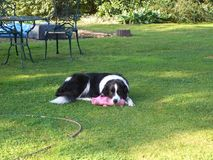 El border collie miente con un cerdo rosado del juguete al lado de la manguera del agua en el jardín fotografía de archivo