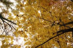 El bosque brilla intensamente amarillo imagenes de archivo