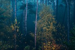 El bosque brumoso de la picea de la caída con un cierto amarillo coloreó árboles de abedul Imágenes de archivo libres de regalías