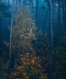 El bosque brumoso de la picea de la caída con un cierto amarillo coloreó árboles de abedul Fotos de archivo libres de regalías