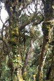 El bosque cubierto de musgo más viejo del mundo Fotografía de archivo libre de regalías