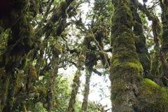 El bosque cubierto de musgo más viejo del mundo Foto de archivo