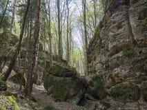 El bosque de hojas caducas del abedul y del roble con el musgo grande cubrió piedras y Fotografía de archivo