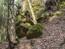 El bosque de hojas caducas del abedul y del roble con el musgo grande cubrió piedras y Imagen de archivo libre de regalías