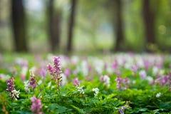 El bosque de la primavera con la alfombra hermosa de la flor de Holewort florece fotografía de archivo libre de regalías