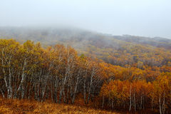 El bosque de los abedules de plata en lluvia Fotos de archivo