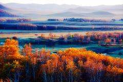 El bosque de oro del abedul blanco en el prado Fotografía de archivo