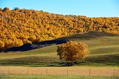 El bosque de oro del abedul de plata Imagen de archivo libre de regalías