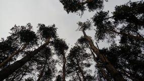 El bosque del árbol de pino Foto de archivo