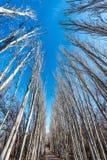 El bosque del abedul Imagen de archivo