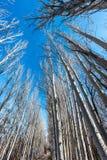 El bosque del abedul Foto de archivo libre de regalías