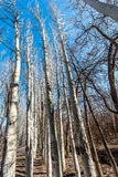 El bosque del abedul Imágenes de archivo libres de regalías