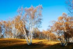 El bosque del abedul blanco Fotos de archivo libres de regalías