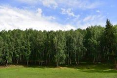El bosque del abedul blanco de Hemu Fotografía de archivo