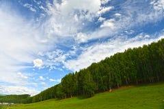 El bosque del abedul blanco de Hemu Fotos de archivo
