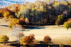 El bosque del abedul blanco del otoño Imágenes de archivo libres de regalías