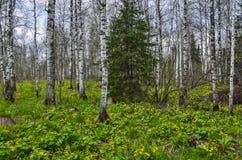 El bosque del abedul de la primavera con la maravilla de pantano amarilla florece el Caltha p Imagenes de archivo
