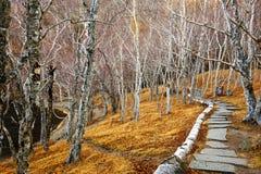 El bosque del abedul de la trayectoria Fotos de archivo libres de regalías