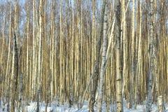 El bosque del abedul del invierno Imagenes de archivo