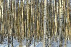 El bosque del abedul del invierno Fotos de archivo libres de regalías