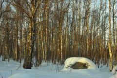 El bosque del abedul del invierno Imágenes de archivo libres de regalías