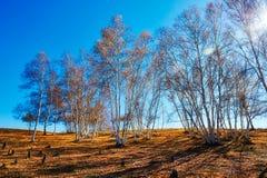 El bosque del abedul del otoño en el prado Foto de archivo