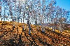 El bosque del abedul del otoño en la ladera Fotos de archivo libres de regalías