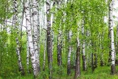 el bosque del abedul del verano en Rusia Fotografía de archivo