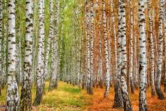 El bosque del abedul del otoño se mueve a partir de verano al otoño Fotos de archivo