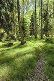 El bosque del abedul por la mañana Imagenes de archivo
