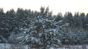 El bosque del invierno del bosque del invierno con los árboles cubrió nieve Árboles de navidad en cierre del bosque del invierno  metrajes
