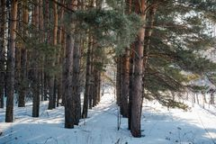 El bosque del invierno en nieve La madera en el invierno en Rusia, Siberia Imagenes de archivo