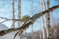 El bosque del invierno en nieve La madera en el invierno en Rusia, Siberia Fotos de archivo