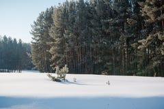 El bosque del invierno en nieve La madera en el invierno en Rusia, Siberia Imagen de archivo