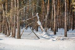 El bosque del invierno en nieve La madera en el invierno en Rusia, Siberia Imágenes de archivo libres de regalías