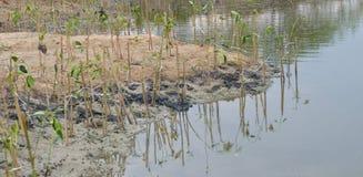 El bosque del mangle Imagen de archivo libre de regalías
