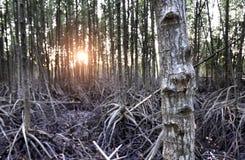 El bosque del mangle en el humedal de Tailandia Imagenes de archivo