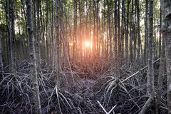 El bosque del mangle en el humedal de Tailandia Foto de archivo