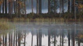 El bosque del pino con los pinos viejos y el arrastramiento bajo se empañan, lago tranquilo almacen de metraje de vídeo
