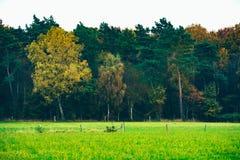 El bosque del pino del otoño con amarillo coloreó árboles de abedul Fotografía de archivo