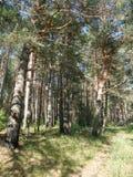 El bosque del pino en día soleado Imagen de archivo libre de regalías