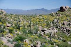 El bosque del Saguaro y la cubierta del brittlebush en las colinas acercan al pináculo P Fotos de archivo