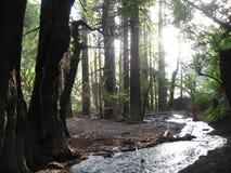 El bosque en Big Sur Fotos de archivo